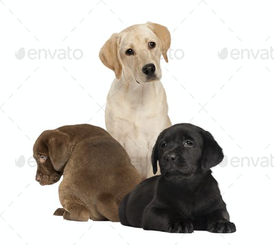 Labrador Puppy Domestic Animal Stock Photos Royalty Free Images